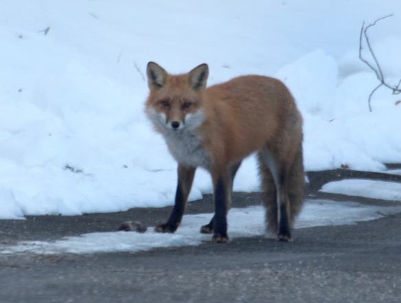 Photo by Chris Bosak A Red Fox finds a mouse on a driveway in Brookfield, Conn., winter 2016.
