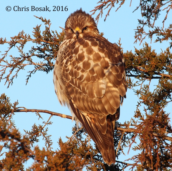 Photo by Chris Bosak A Red-tailed Hawk perches in an evergreen in Brookfield, Conn., winter 2016.