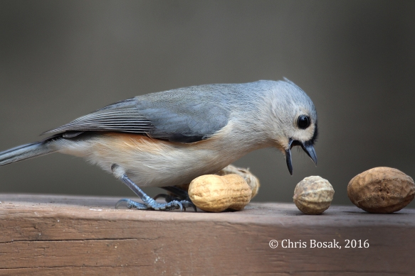 Photo by Chris Bosak A Tufted Titmouse tries to figure out how to pick up a peanut off a deck railing in Danbury, Conn., in the fall of 2016.