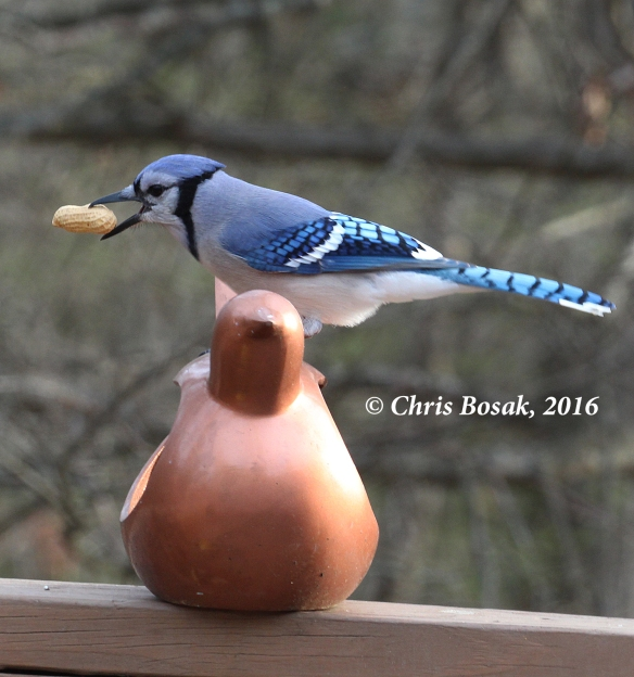 Photo by Chris Bosak A Blue Jay grabs a peanut from a feeder in Danbury, Conn., Dec. 2016.