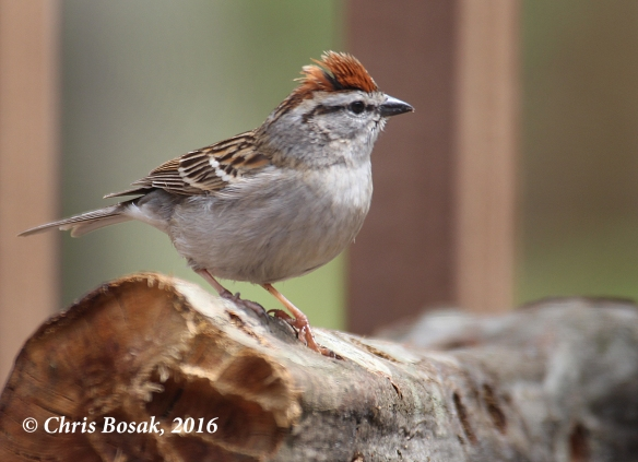 Photo by Chris Bosak A Chipping Sparrow raises its crest while standing on a log in Danbury, Conn., summer2016.