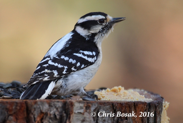 Photo by Chris Bosak A female Downy Woodpecker eats from a homemade platform feeder in Danbury, Conn., fall 2016.