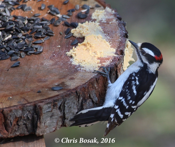 Photo by Chris Bosak A male Downy Woodpecker eats from a homemade platform feeder in Danbury, Conn., fall 2016.