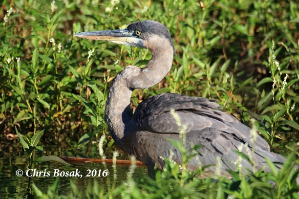 Photo by Chris Bosak A Great Blue Heron hunts in a pond in Danbury, Conn., September 2016.