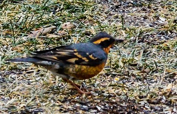 Photo by David Hoitt This Varied Thrush has been seen in Swanzey since Dec. 12.