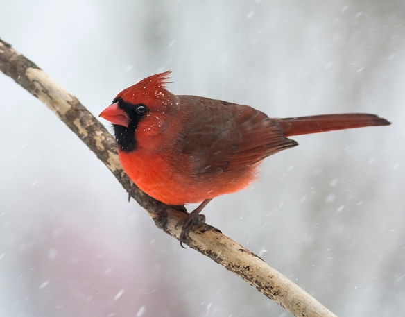 Ernest Franklin got this wonderful photo of a male cardinal during the snowstorm of Feb 9, 2017, in New Englnad.