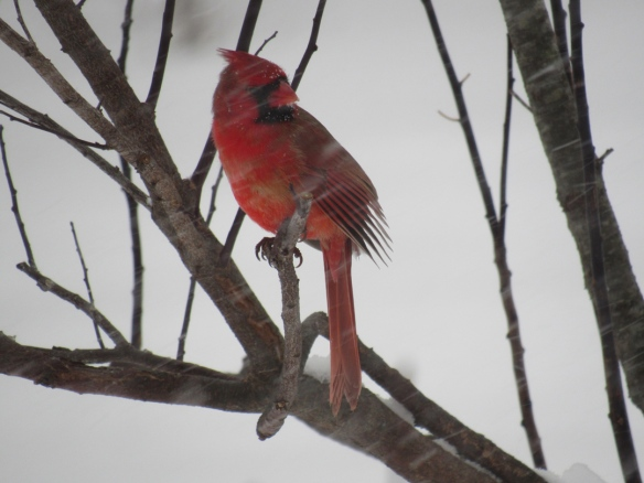 Jo Belasco of Colrain, Mass., got this shot of a northern cardinal during the Feb. 9, 2017, snowstorm.
