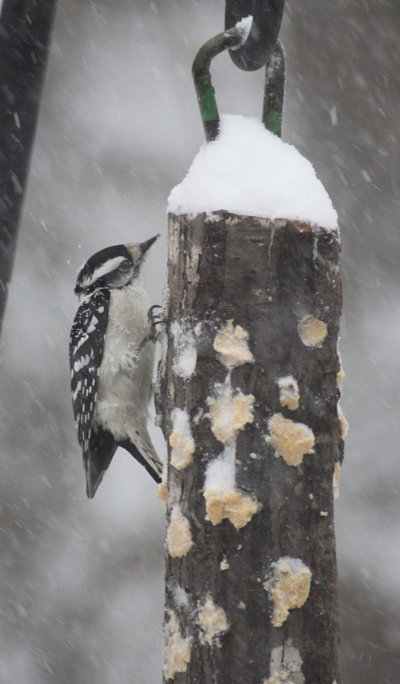 Photo by Chris Bosak A downy woodpecker eats bark butter out of a homemade feeder in Danbury, Conn., Feb. 9, 2017.