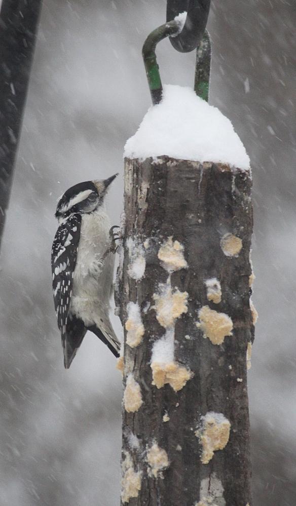 Photo by Chris Bosak A downy woodpecker eats bark butter out of a homemade feeder in Danbury, Conn., Feb. 9, 2017.