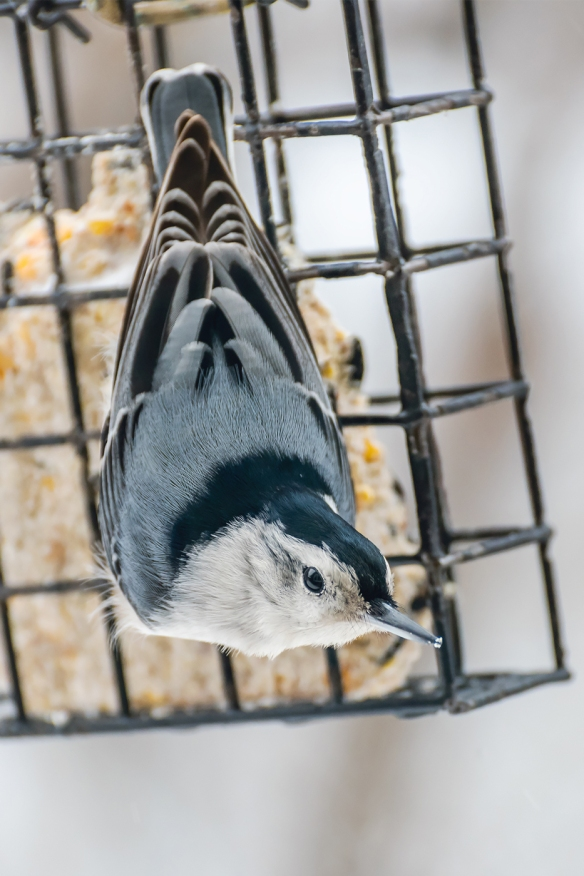 Jason Farrow of Norwalk, Conn., captured this beautiful shot of a White-breasted Nuthatch.