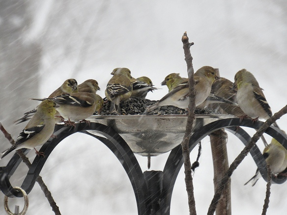 Jo Belasco of Colrain, Mass., got this great shot of American Goldfinches during the Feb. 9, 2017, snowstorm.