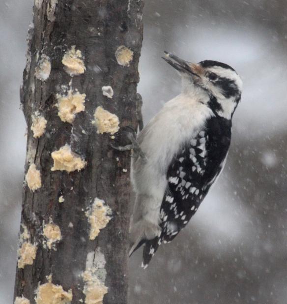Photo by Chris Bosak A hairy woodpecker eats bark butter out of a homemade feeder in Danbury, Conn., Feb. 9, 2017.
