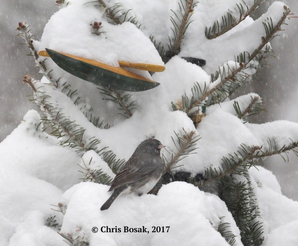 Photo by Chris Bosak A junco seeks shelter in an old Christmas tree during the winter storm of Feb. 9, 2017.
