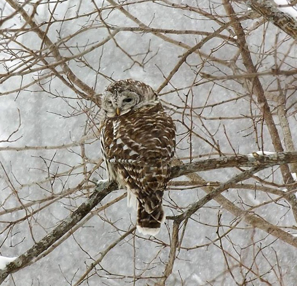 Anna Fay of Marlow, N.H., captured this photo of a barred owl during the storm.
