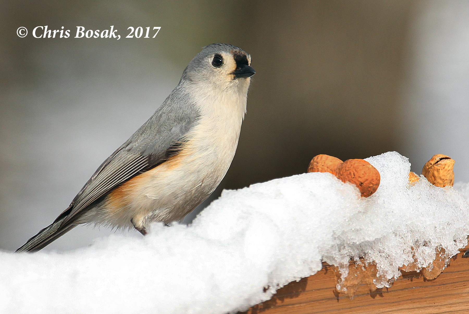 Photo by Chris Bosak  A tufted titmouse contemplates grabbing a peanut from a deck railing following a snowstorm in Danbury, Conn., Feb. 2017.
