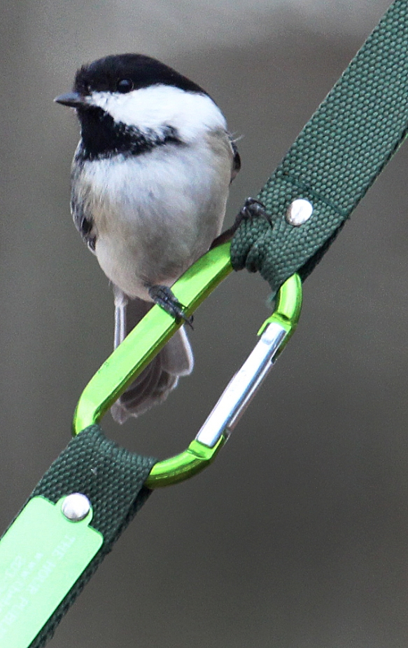 Photo by Chris Bosak A black-capped chickadee perches on a homemade birdfeeder in Danbury, Conn., March 2017.