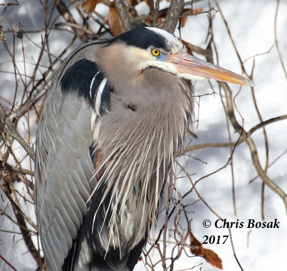 Photo by Chris Bosak A Great Blue Heron rests on a log in a pond in Danbury, Conn., March 2017.