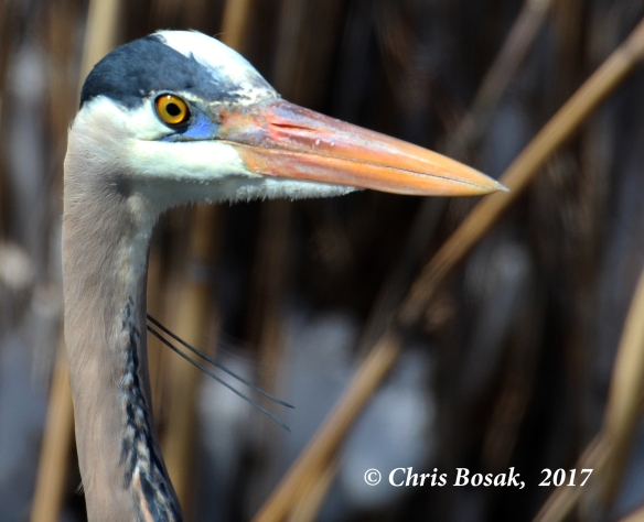 Photo by Chris Bosak  A Great Blue Heron stands in a pond in Danbury, Conn., March 2017.