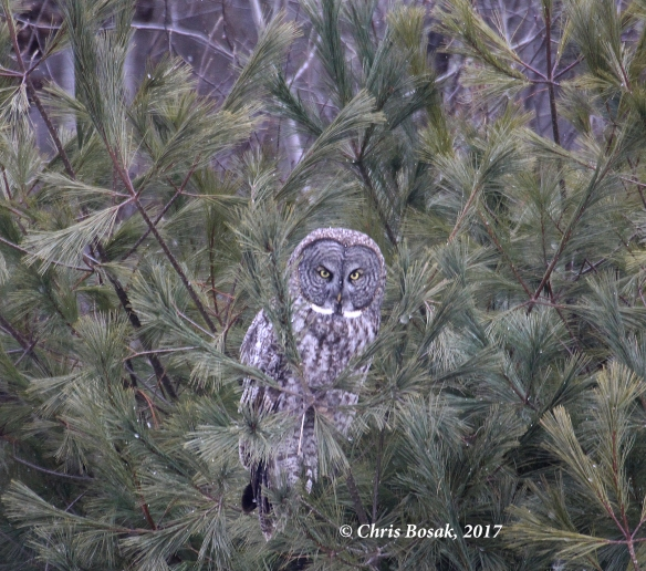 Photo by Chris Bosak A Great Gray Owl perches in a pine tree in Newport, N.H., in March 2017.