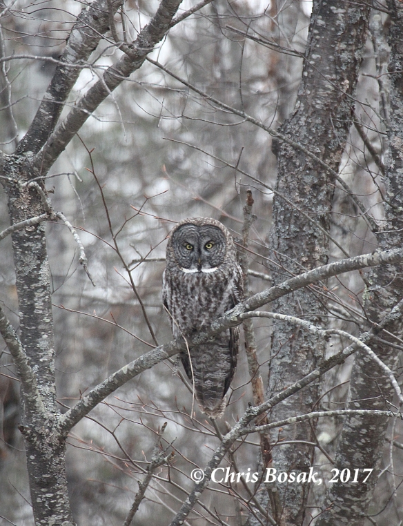 Photo by Chris Bosak A Great Gray Owl perches in a tree overlooking a field in Newport, N.H., in March 2017.