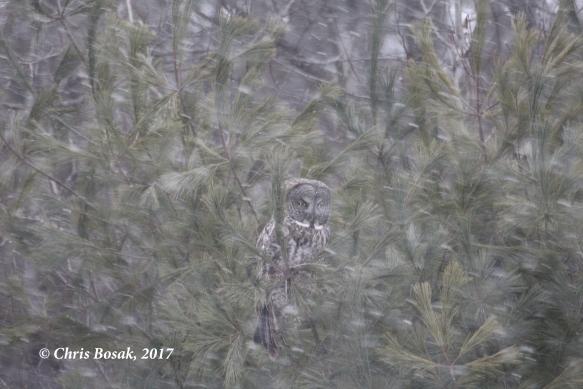 https://birdsofnewengland.files.wordpress.com/2017/03/great-gray-owl-3-c.jpg