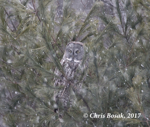 Photo by Chris Bosak A Great Gray Owl perches in a pine tree and battles windy, snowy conditions in Newport, N.H., in March 2017.