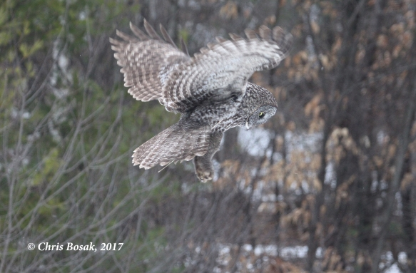 Photo by Chris Bosak A Great Gray Owl hovers over a field in Newport, N.H., in March 2017.