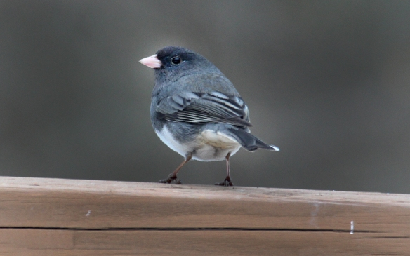 Photo by Chris Bosak A dark-eyed junco perches on a deck railing in Danbury, Conn., March 2017.