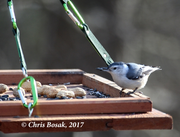 Photo by Chris Bosak  A white-breasted nuthatch takes a sunflower seed from a homemade platform feeder in March 2017, in Danbury, Conn.