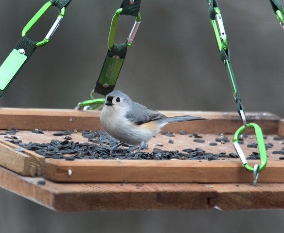 Photo by Chris Bosak A tufted titmouse perches on a homemade birdfeeder in Danbury, Conn., March 2017.