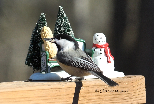 Photo by Chris Bosak Ablack-capped chickadee grabs a sunflower seed from a Christmas decoration during the winter of 2016-17 in Danbury, Conn.
