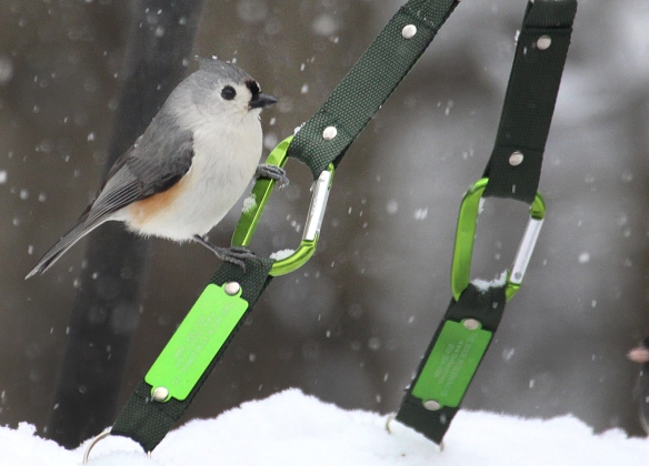Photo by Chris Bosak A tufted titmouse perches on a carabiner that holds up a homemade platform birdfeeder in Danbury, Conn., during the winter of 2016-17.
