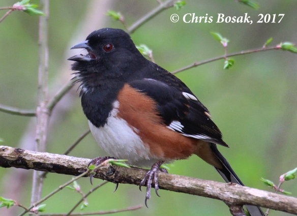Photo by Chris Bosak An Eastern Towhee sings from a perch in Ridgefield, Conn., April 2017.