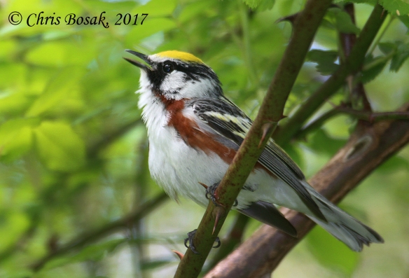Photo by Chris Bosak A chestnut-sided warbler sings from a lower perch in Ridgefield, Conn., during the spring of 2017.