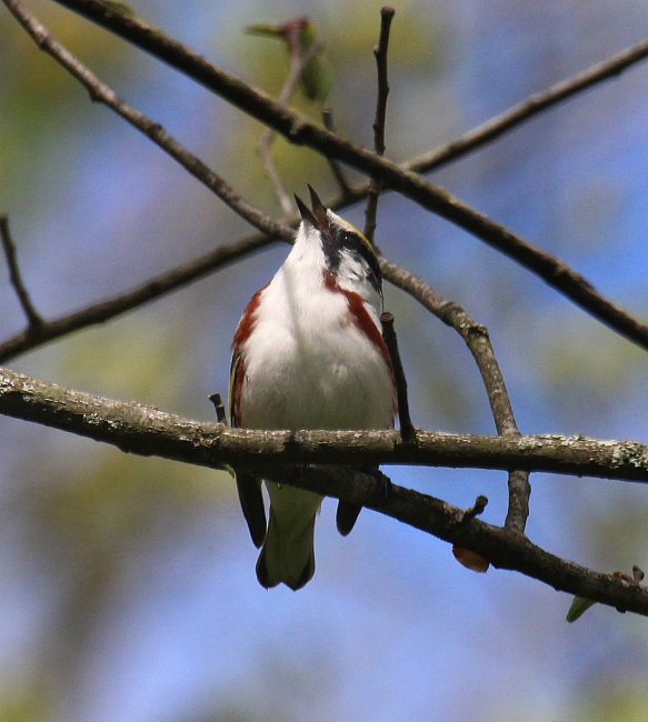 Photo by Chris BosakA chestnut-sided warbler sings from a perch in New England in the spring of 2017.