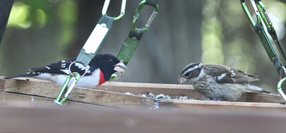Photo by Chris Bosak A male and female rose-breasted grosbeak eat seeds at a platform feeder at Merganser Lake in Danbury, Conn., in spring 2017.