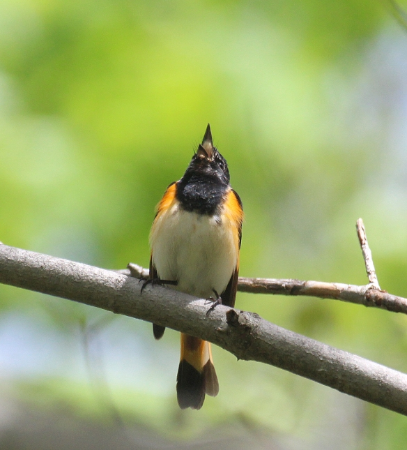 Photo by Chris Bosak  An American redstart sings from a perch in New England in spring 2017.