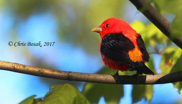 A male scarlet tanager perches in a maple tree during spring migration 2017, in Danbury, Conn.