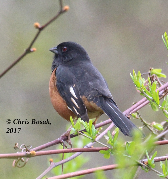 Photo by Chris Bosak An Eastern Towhee perches on a branch in Ridgefield, Conn., April 2017.