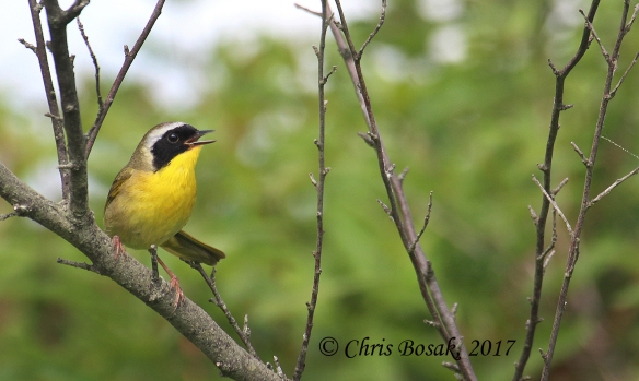Photo by Chris Bosak A common yellowthroat sings from a branch at Happy Landings in Brookfield in spring 2017.