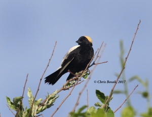 Photo by Chris Bosak A male bobolink perches in a small tree and overlooks the fields at Happy Landings in Brookfield, CT.