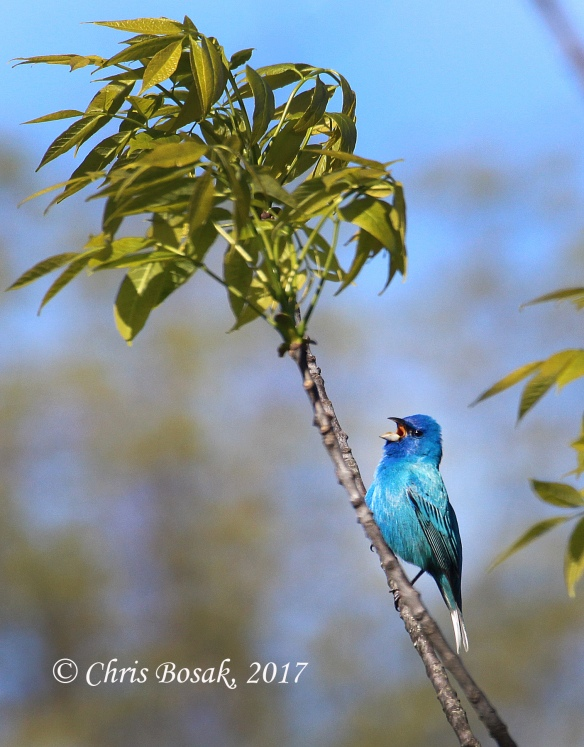 Photo by Chris Bosak  An indigo bunting sings from a branch in Ridgefield, Conn., in spring 2017.