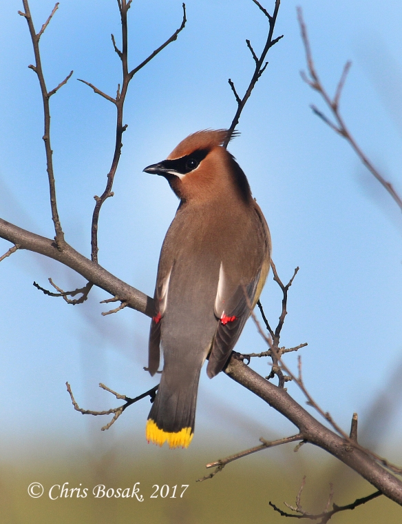 Photo by Chris Bosak A cedar waxwing perches on a branch in Brookfield, Conn., spring 2017.
