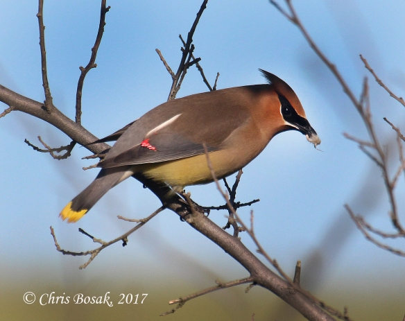 Photo by Chris Bosak A cedar waxwing eats an insect on a branch in Brookfield, Conn., spring 2017.