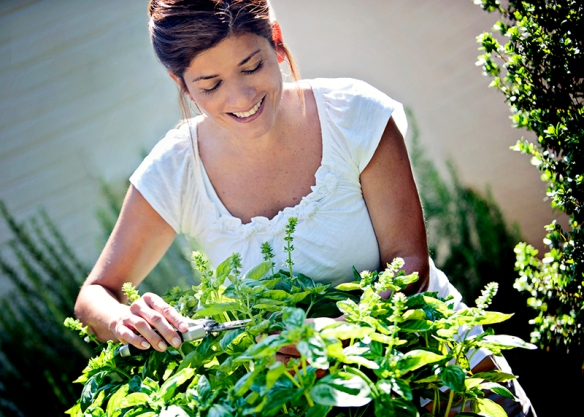 Photo credit: Bonnie Plants Harvesting and preserving herbs allows you to enjoy fresh-from-the-garden flavor all year long.