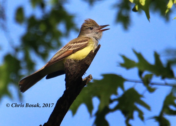 Photo by Chris Bosak  A great-crested flycatcher perches on a branch at Merganser Lake in Danbury, Conn., spring 2017.