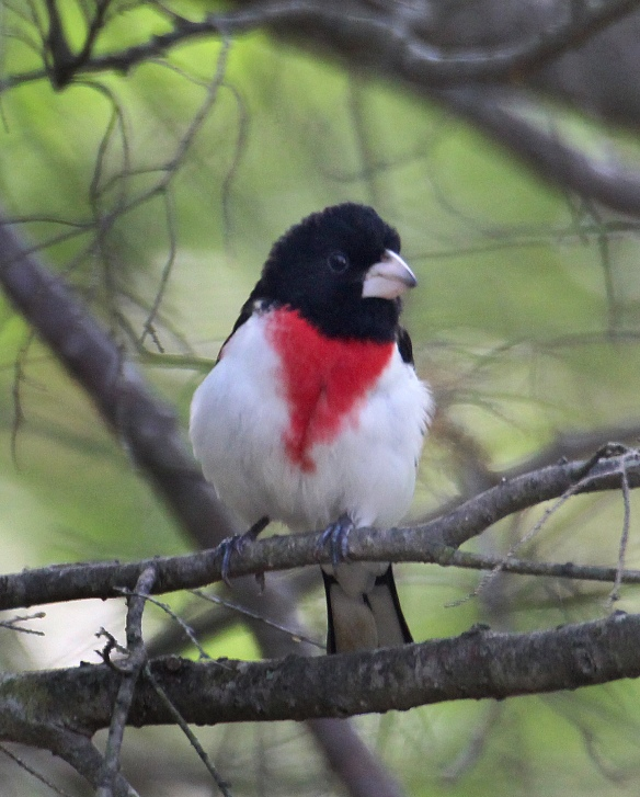 Photo by Chris Bosak  A rose-breasted grosbeak perches in a tree at Merganser Lake in Connecticut, spring 2017.