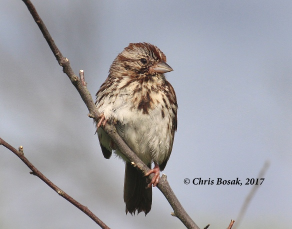 Photo by Chris Bosak A song sparrow perches on a branch at Happy Landings in Brookfield, CT, spring 2017.