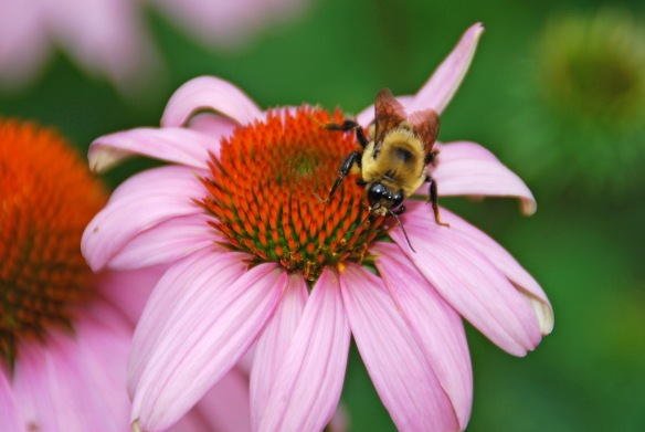 By Melinda Myers, LLC A bee pollinating a coneflower.