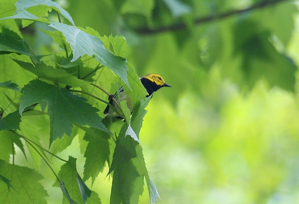 Photo by Chris Bosak Black-throated green warbler in Pittsburg, N.H., summer 2017.